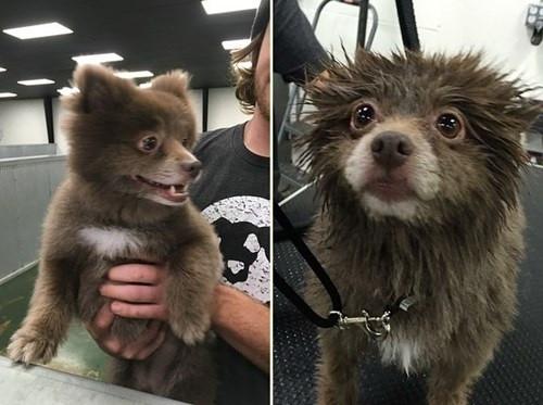 Chú chó đáng yêu này thuộc giống Chocolate Pomeranian.