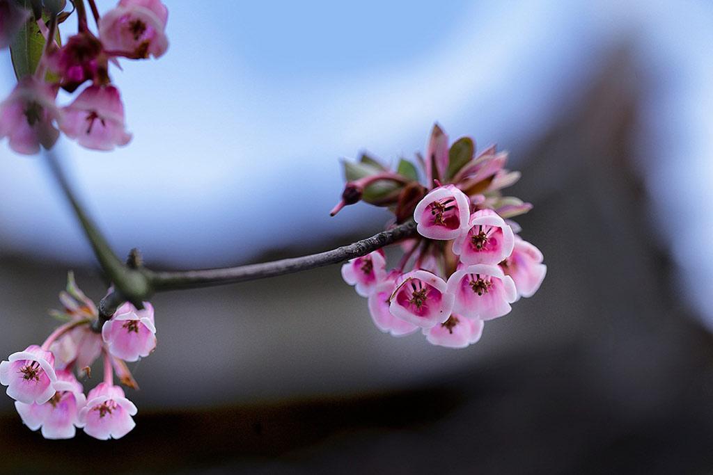 Tên đào chuông là do người địa phương đặt cho loài hoa này vì có những cánh hoa khi nở rộ trông như những chiếc chuông nhỏ màu hồng đậm treo duyên dáng trên cành.