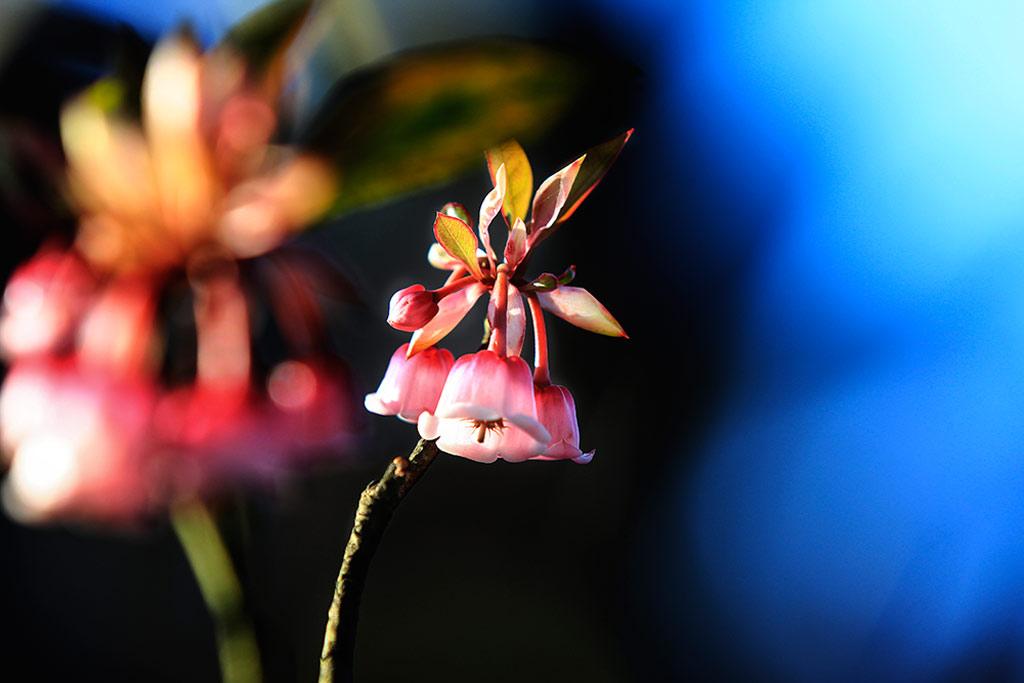 Đào chuông thuộc họ đỗ quyên, chỉ sinh trưởng ở những vùng đất có độ cao từ 1.400 m trở lên và chỉ Bà Nà mới có loài hoa này.