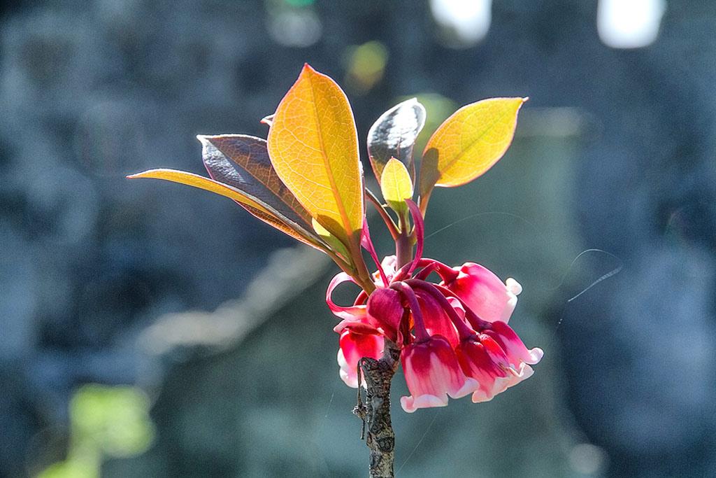 Hoa đào chuông vốn sinh trưởng trong rừng, nhưng thưa thớt. Khi khu du lịch Bà Nà Hills được khởi công, người dân ở đây đã dày công nghiên cứu và nhân giống, đưa đào chuông lên đỉnh Bà Nà.