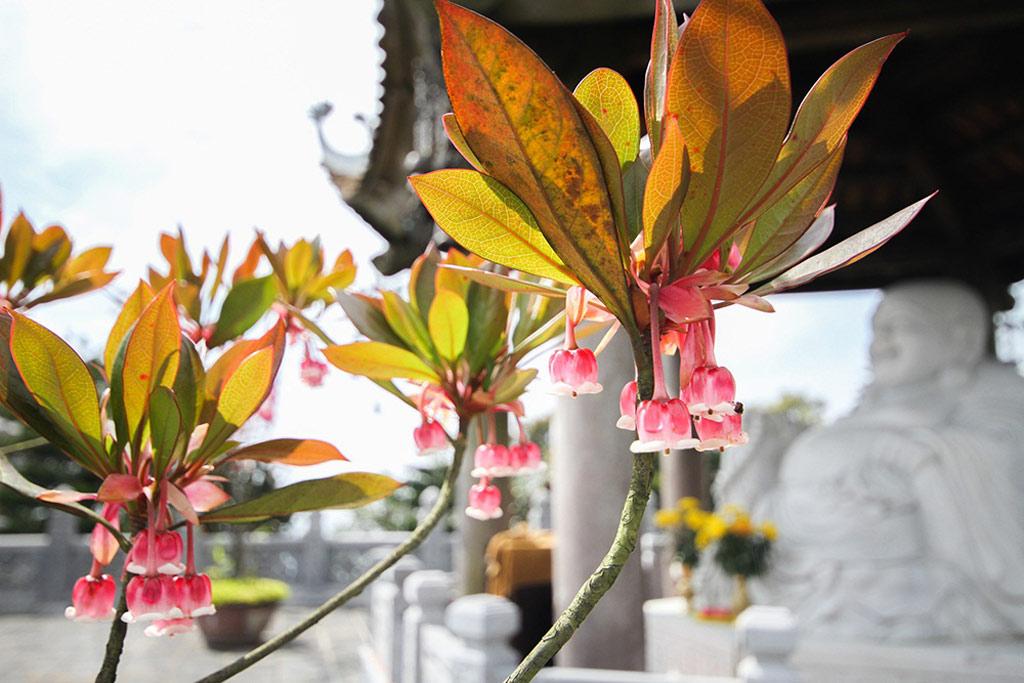 Thổ nhưỡng trên đỉnh Bà Nà đã giúp đào chuông phát triển tốt và trở thành một trong những biểu tượng đặc biệt của khu nghỉ dưỡng.