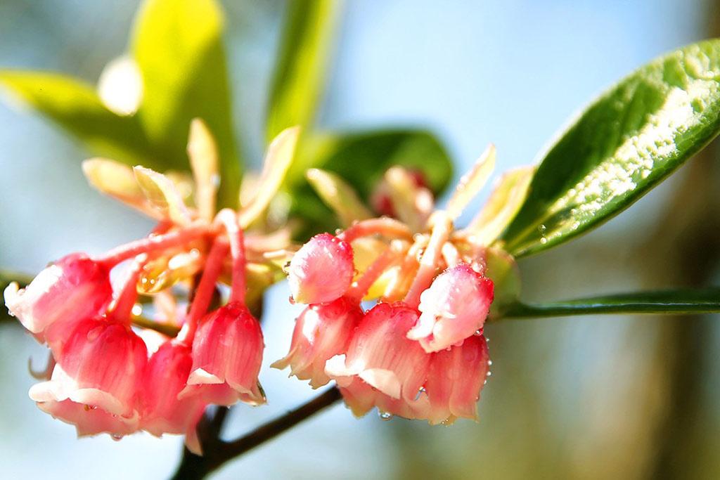 Thời điểm hoa nở rộ, nhuộm hồng đỉnh Bà Nà mờ sương là từ tháng một đến tháng 5.