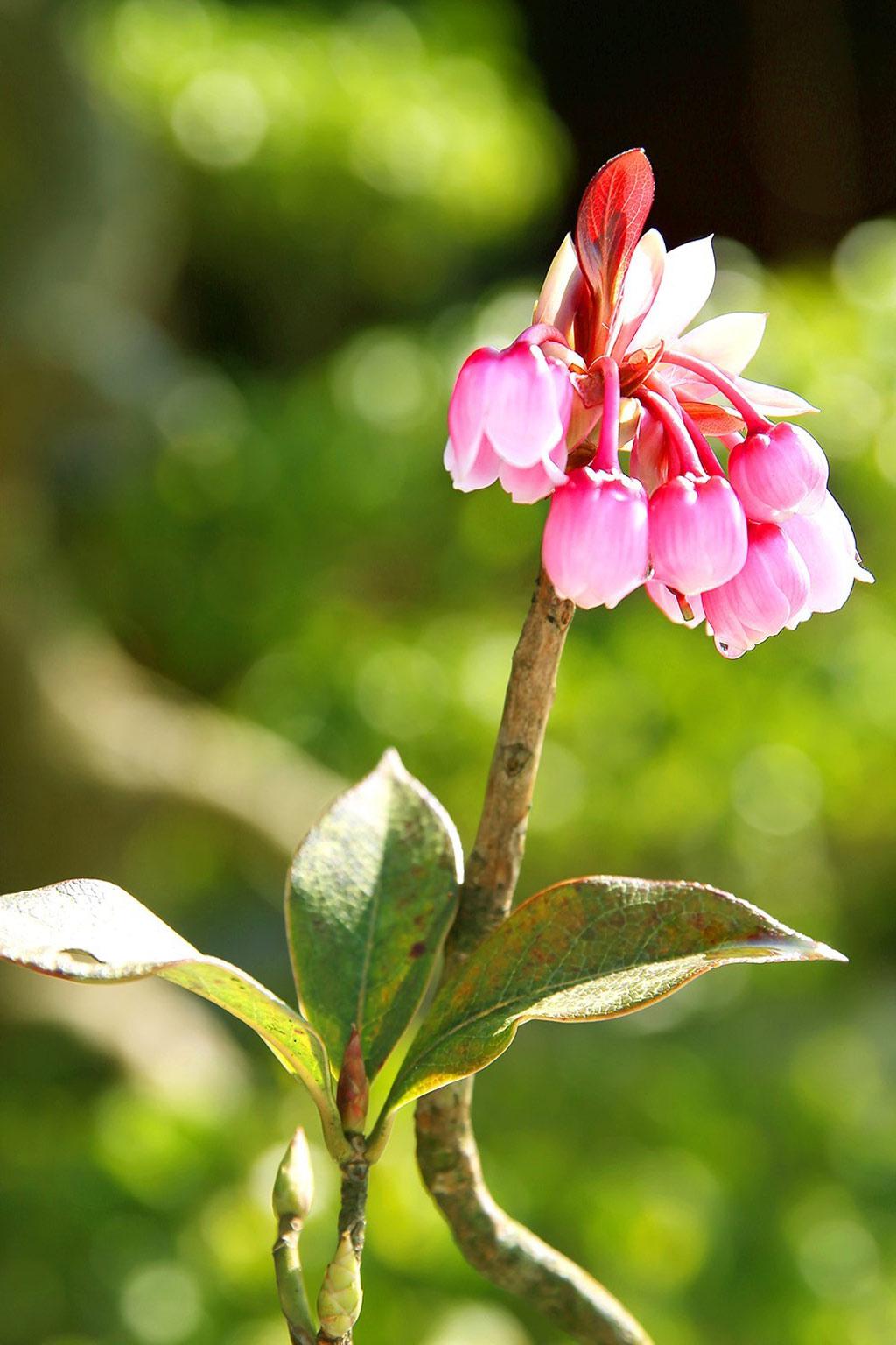 Đến Bà Nà Hills, bạn có thể chiêm ngưỡng vẻ đẹp của hoa đào chuông ở khu tâm linh với đền Lĩnh Chúa Linh Từ, chùa Linh Phong Tự, Trú Vũ Đài, Trú Vũ Trà Quán...