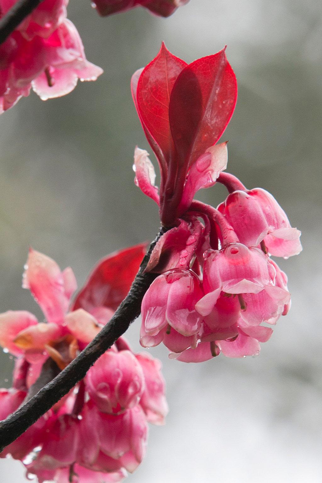 Vào mùa xuân, khu vườn hoa Le Jardin D'Amour ở Bà Nà Hills luôn rực rỡ với hàng trăm loại hoa đua nở. Cùng những thảm hoa muôn sắc đó, sắc hoa đào chuông nhỏ xinh lung linh đến diệu kỳ giữa không gian tâm linh thâm trầm như khiến tâm hồn du khách nhẹ bẫng, thanh tao.