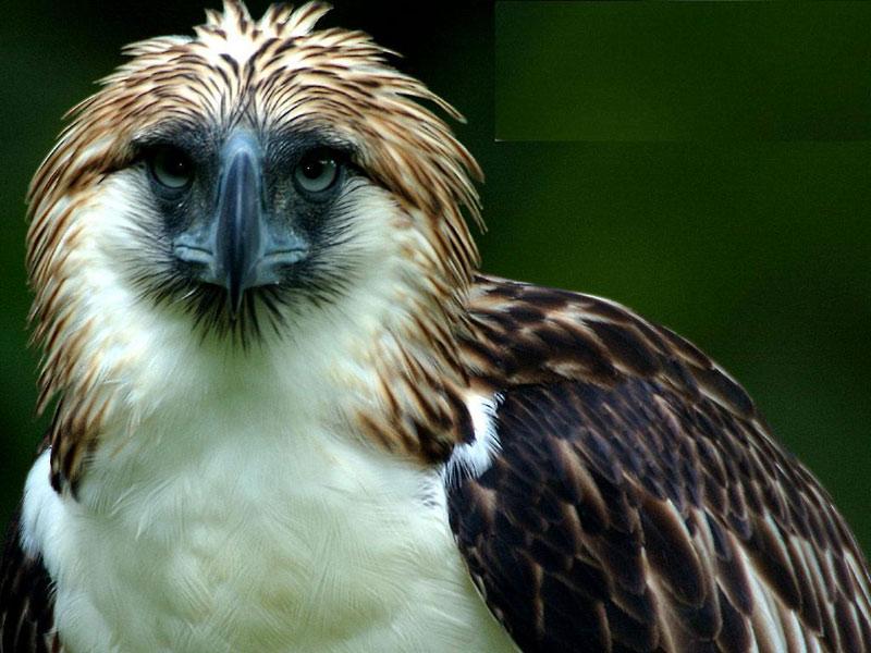 Đây có lẽ là một trong những loài chim cao, to và hiếm nhất trên thế giới. Tại Philippines người ta gọi chúng là banog. Nhiều nhà khoa học gọi chúng là chúa tể của các loài chim