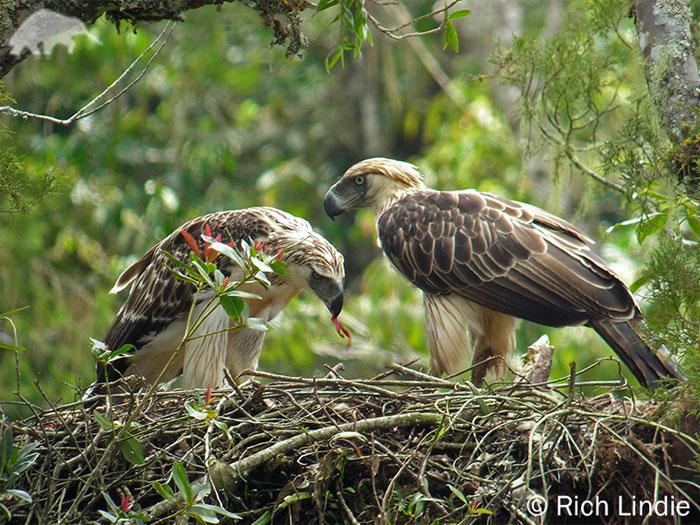 Chúng làm tổ trên cành cây cao và tổ thường cách mặt đất khoảng 30 m. Mỗi cặp đại bàng chỉ sinh một con trong năm.