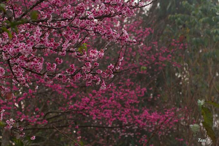 Sau đó, Đại sứ quán Nhật xin lại 5 cây, còn 4 cây vẫn tiếp tục trồng trên đảo. Sau 3 năm, cây bắt đầu ra hoa và kết quả. Từ số cây giống này, ông nhân tiếp thêm hàng nghìn cây. Hiện nay, nhiều cây đã trổ hoa.