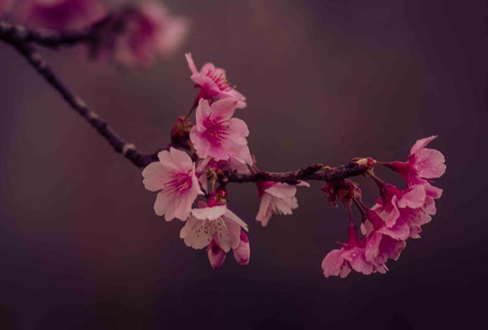 Nằm ở độ cao trên 1.000 m, Mường Phăng vào mùa đông không có mưa và mùa hè không nóng. Nhiệt độ chênh lệch giữa ngày và đêm lên đến 10 độ C. Những yếu tố này phù hợp với sự sinh trưởng của hoa anh đào. Với kinh nghiệm nhiều năm nghiên cứu về hoa anh đào Nhật Bản, ông đã chọn giống hoa Edohigan Sakura của đảo Kyushu.
