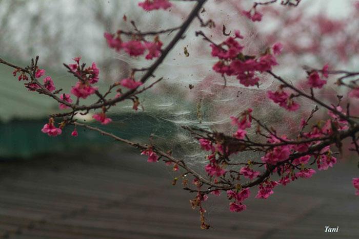 Ông cho biết, đảo Kyushu không có tuyết, do đó, hoa anh đào ở đây sẽ phù hợp với khí hậu của Việt Nam.