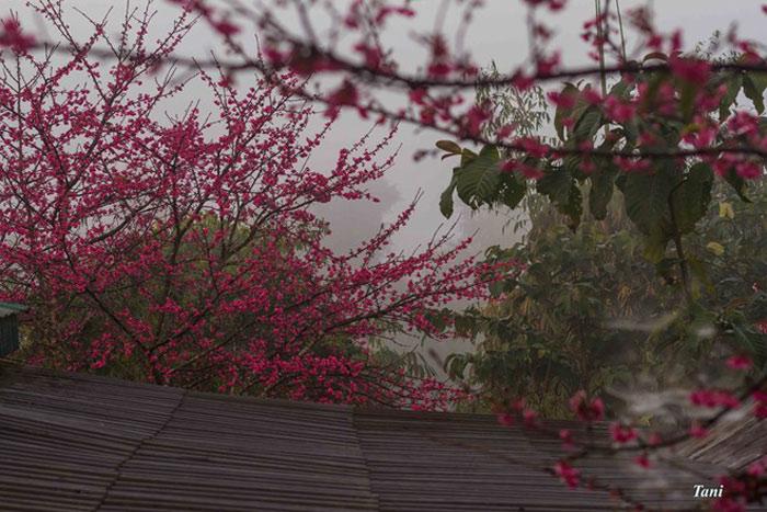 Hoa anh đào trổ hoa từ tháng 12. Nhưng theo tiến sĩ Trần Lệ, hiện nay hoa mới nở được khoảng 20%, sẽ nở hết vào dịp tết Âm lịch.