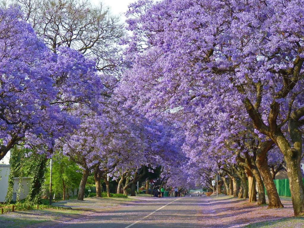 Thành phố Johannesburg là khu rừng nhân tạo lớn nhất thế giới.
