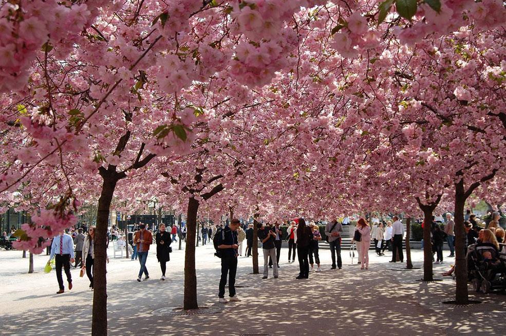 Cứ mỗi độ xuân sang, con phố yên bình ở thành phố Bonn, Đức lại biến thành một đường hầm hoa anh đào đầy mê hoặc.