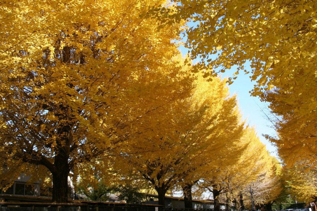 Đường cây bạch quả này nằm bên ngoài khuôn viên vườn Meiji Shrine, thuộc Shibuya, Tokyo.