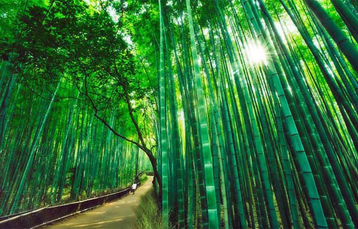 Rừng trúc Sagano ở Arashiyama, Kyoto