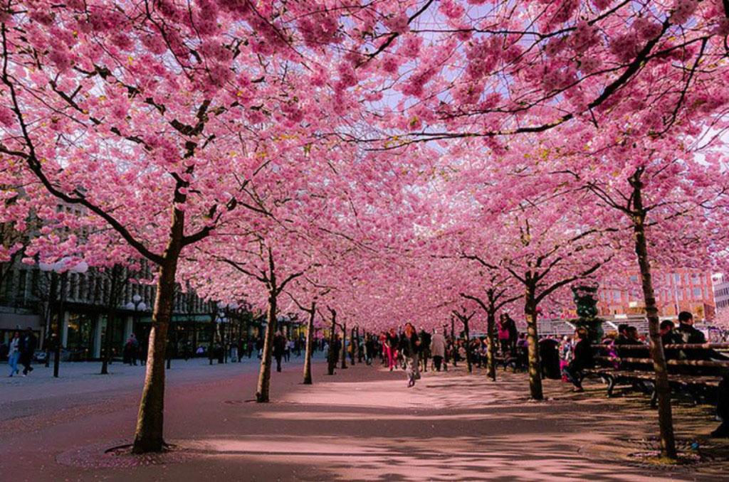"""Con đường ngập tràn sắc hồng này còn được gọi là """"xa lộ anh đào"""""""