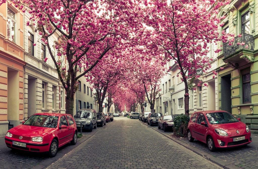 Tuy nhiên, mỗi mùa hoa chỉ kéo dài 7 - 10 ngày.
