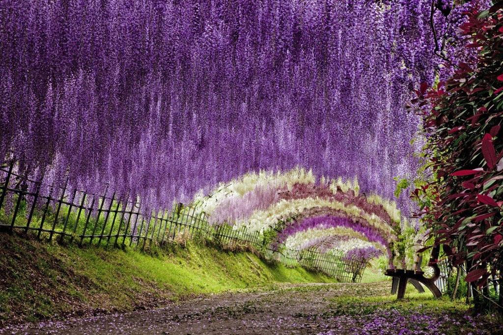 Đường hầm hoa tuyệt đẹp nằm trong khuôn viên vườn Kawachi Fuji tại Kitakyushu, Nhật Bản.