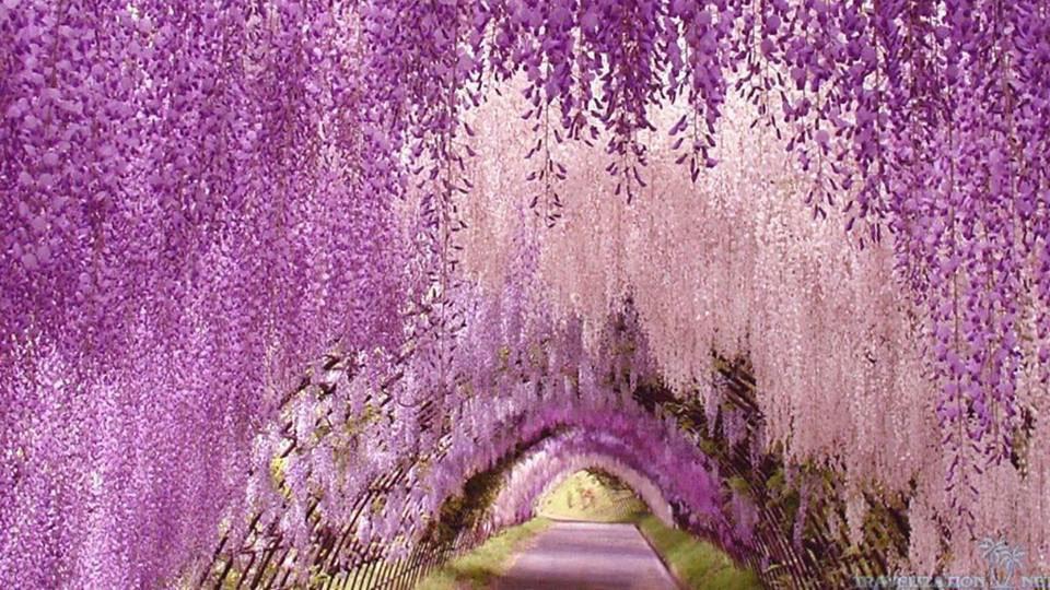Đường hầm được bao phủ bởi những bông hoa Tử Đằng quyến rũ.