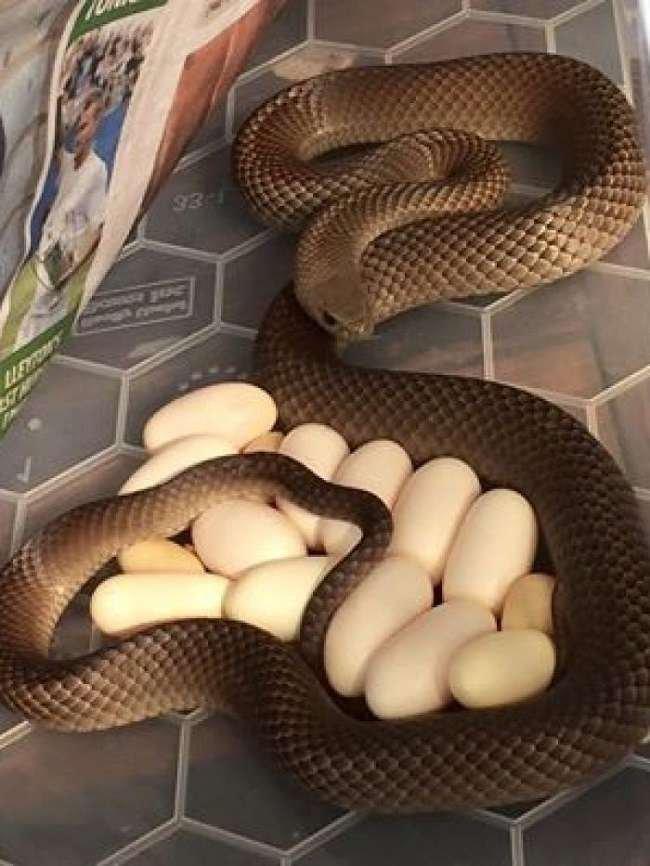 Con rắn dài khoảng 1,5m được phát hiện đang nằm ấp trứng.