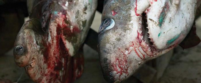 Mỗi năm có từ 26 - 73 triệu cá thể cá mập bị giết để lấy vây.