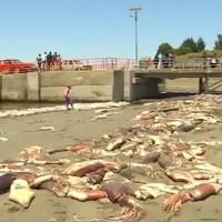 Hàng ngàn con mực ống chết bất thường, tràn ngập bờ biển Chile