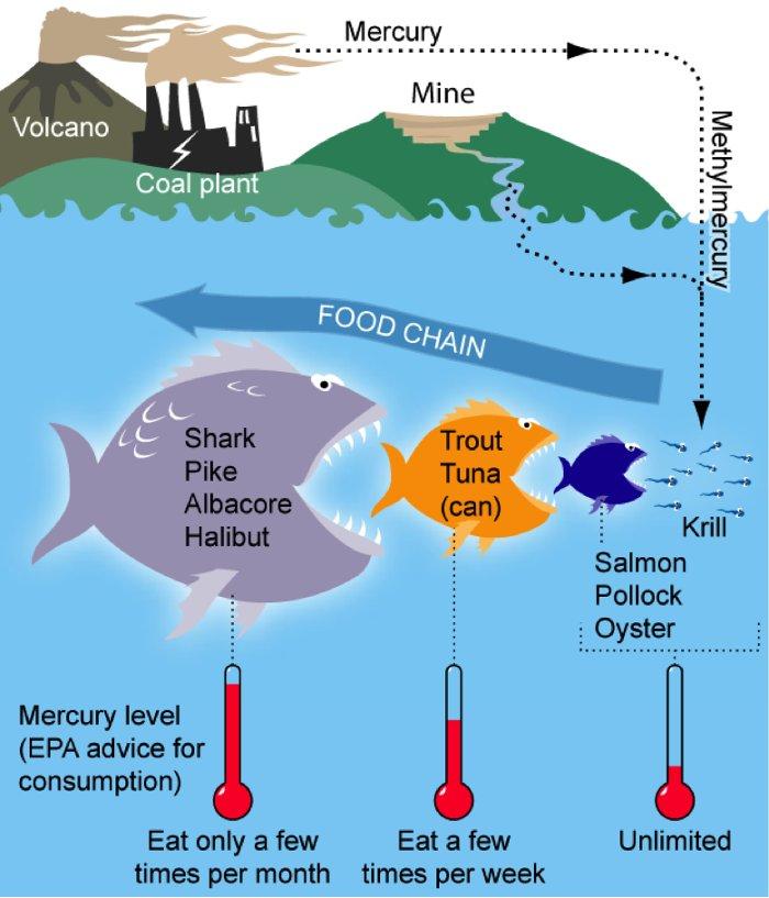 Mô phỏng về cách cá mập tích lũy một lượng lớn thủy ngân trong tự nhiên.