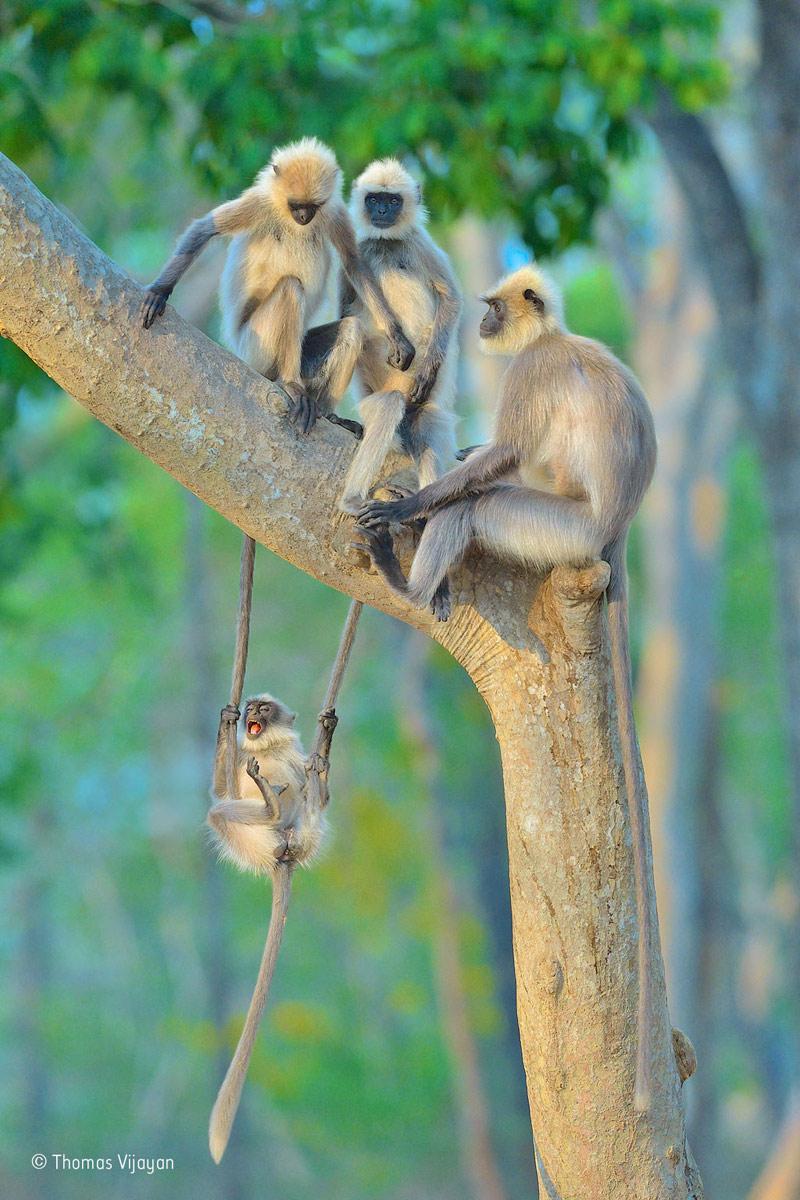 """""""Những con voọc xám chơi trò đánh đu"""" tại Công viên quốc gia Bandipur (bang Karnataka, Ấn Độ) được trao giải ảnh động vật hoang dã được bạn đọc yêu thích nhất."""