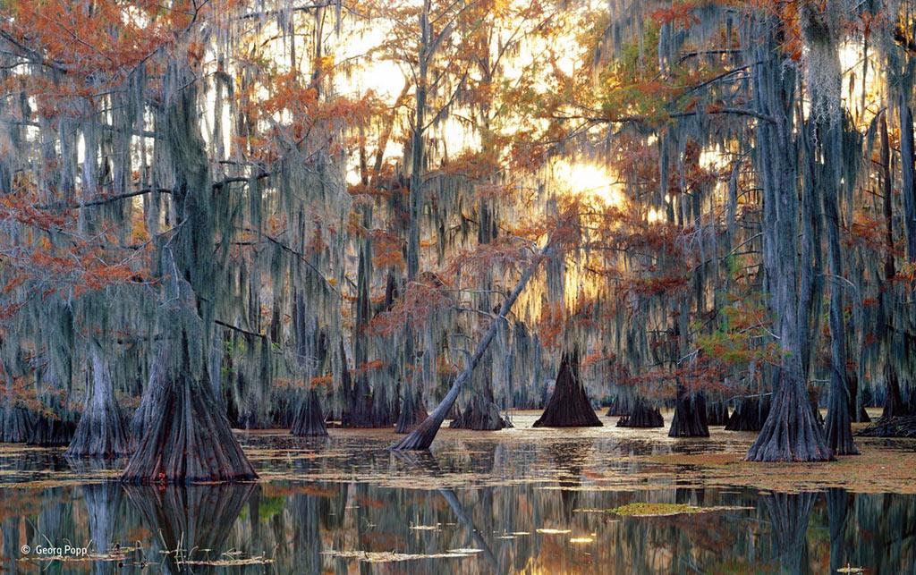 Những cây bách khoảng 1.000 năm tuổi đang thay lá mùa thu tại vùng đầm lầy ở bang Louisiana (Mỹ).