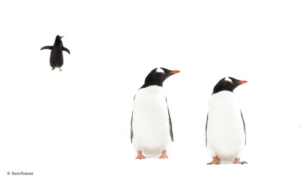 """Tác phẩm """"Đen và trắng"""". Những chú chim cánh cụt Gentoo trong tuyết ở Nam cực."""