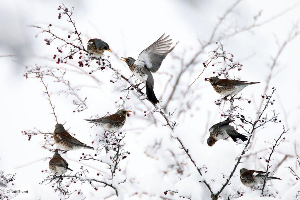 Đàn chim ăn quả mọng trong khung cảnh tuyết trắng tại khu vực Massif du Bugey, miền đông nước Pháp.