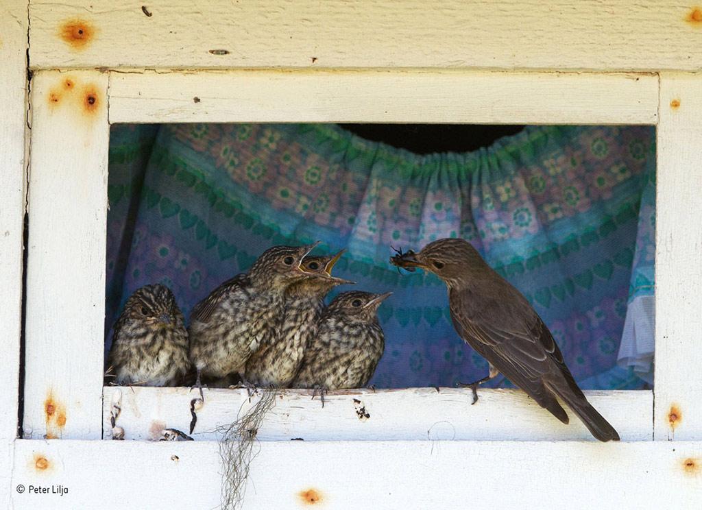 Mớm mồi cho đàn chim non tại khung cửa sổ của một ngôi nhà ở Vasterbotten, Thụy Điển.