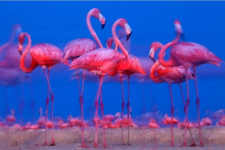 Đàn chim hồng hạc tại khu dự dữ sinh quyển Ria Lagartos, bán đảo Yucatan thuộc Mexico.