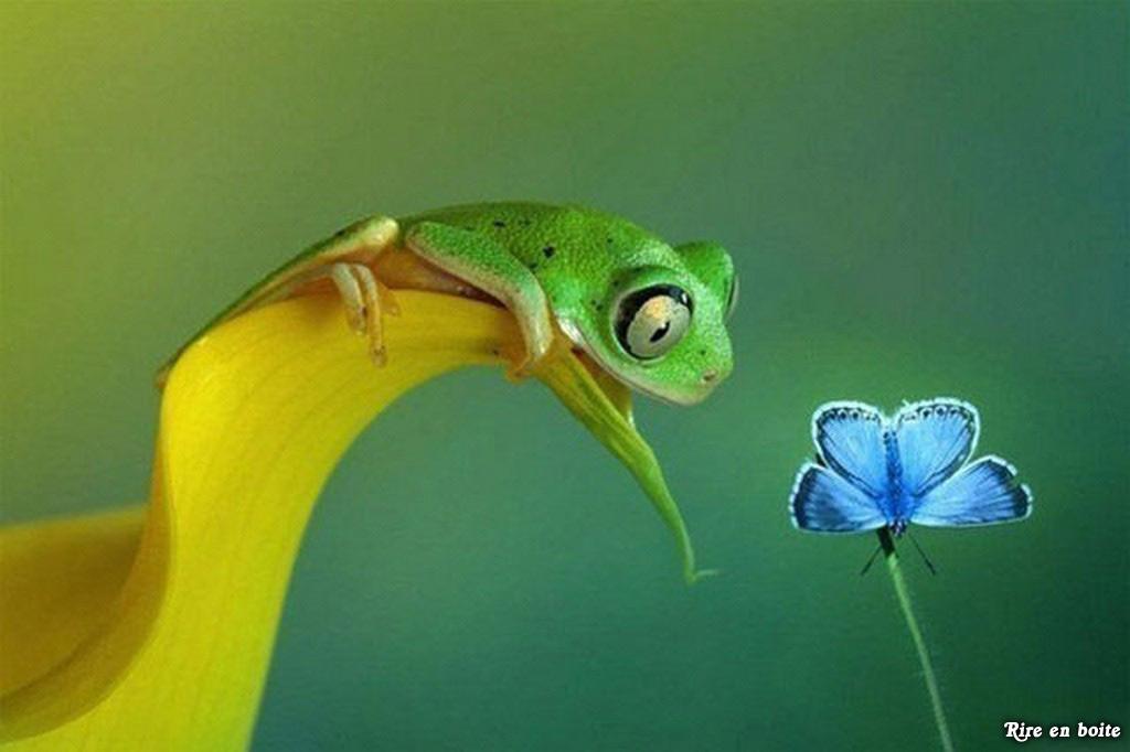 Một chú nhái bén đang ngắm nhìn vẻ đẹp của một chú bướm xanh