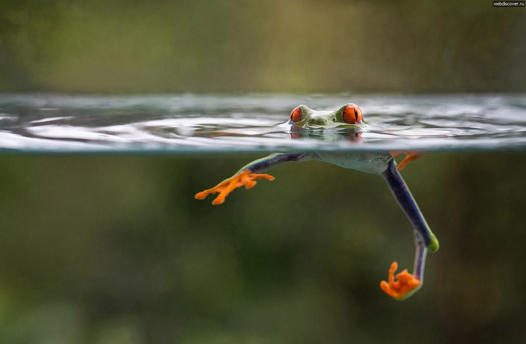 Nhái bén tập bơi!
