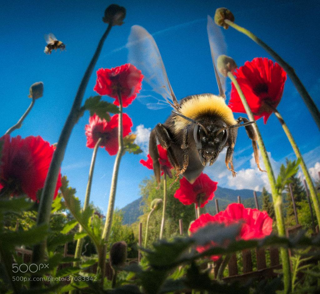 Chú ong này như thể đang chuẩn bị tấn công ai đó!