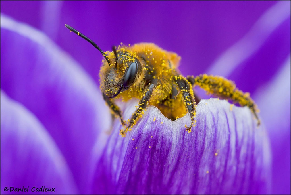 Chú ong mật nhuộm một màu vàng của phấn hoa!