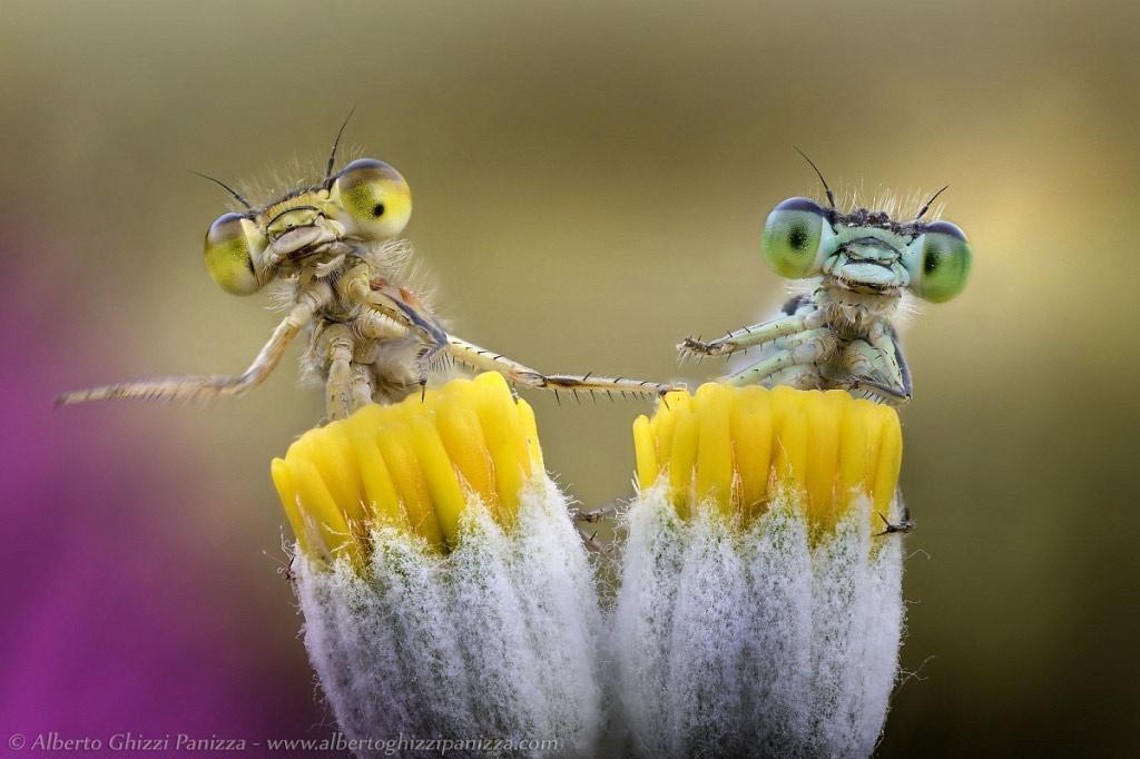 Tình yêu của những chú chuồn chuồn