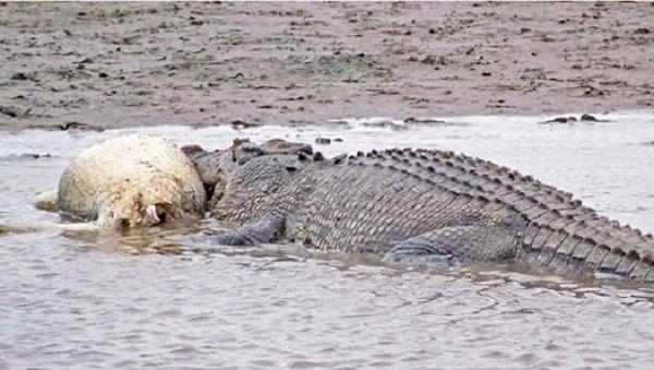 Một con cá sấu đang ăn xác một con cá sấu khác trên sông Mission, Australia