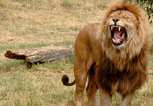 Sư tử đực
