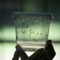 Mỹ: Thêm nhiều ca nhiễm virus Zika gây dị tật cho thai nhi