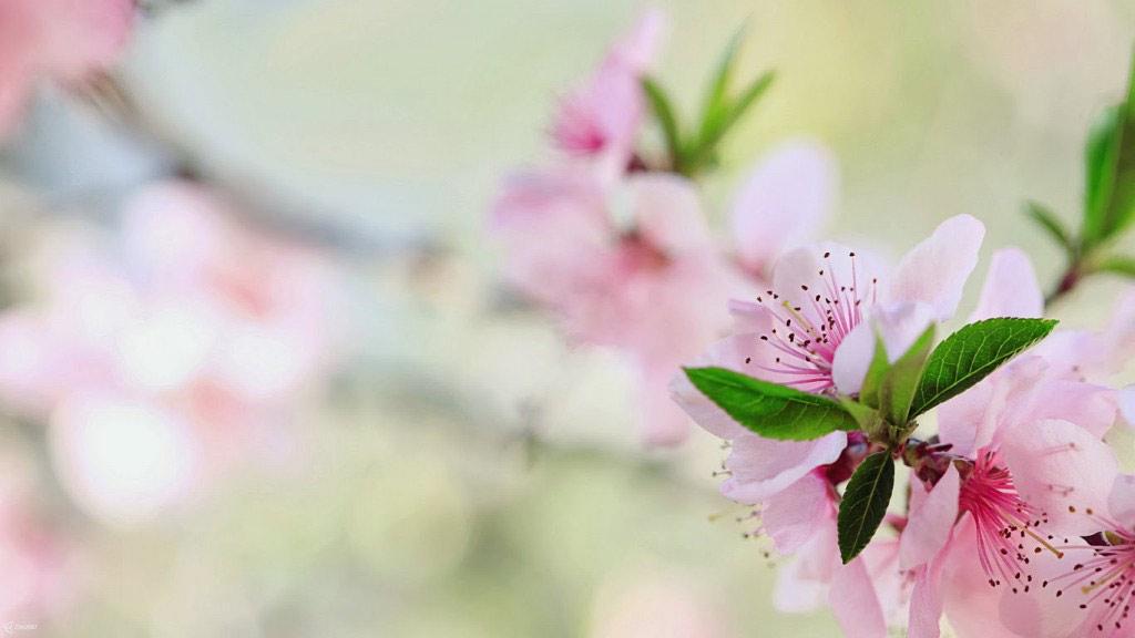 Nếu miền Nam chuộng hoa mai trong ngày Tết thì miền Bắc nước ta lại thường mua những cành đào để trang trí cho căn nhà vào những ngày đầu Xuân.