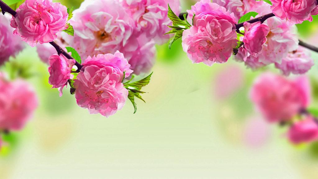 Hoa đào không chỉ có tác dụng xua đuổi tà ma mà còn có thể mang đến nguồn sinh khí mới, giúp mọi người trong nhà luôn khỏe mạnh và bình an trong năm mới.