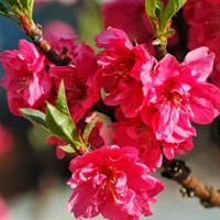 Chùm ảnh: Hoa đào đẹp rực rỡ đón tết 2019