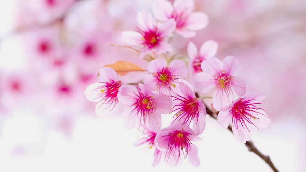 Chỉ cần trông thấy cành hoa đào là chúng đã sợ hãi bỏ chạy, mất vía.
