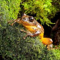 Ếch cây tưởng đã tuyệt chủng hơn 100 năm tái xuất