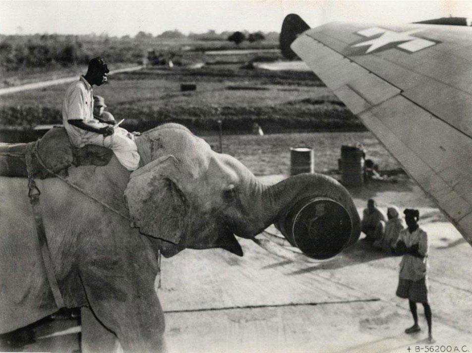 Năm 1945, không phải máy móc, không phải con người, voi mới chính là nguồn lực chính trong việc vận chuyển hàng hoá, nhiên liệu cho máy bay.