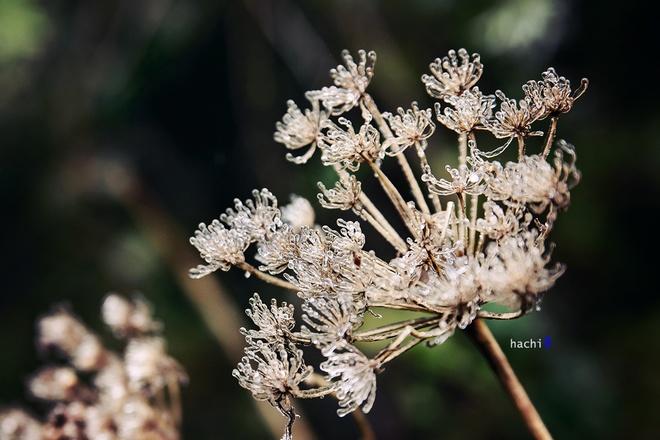Khu rừng Nhìu Cồ San dường như đã hóa băng. Những giọt sương đọng trên cây lá cũng thành băng giá. Bông hoa khô dường như trở nên sống động và đẹp hơn với lớp phủ trong suốt.