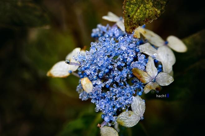 Chùm hoa ngọc xanh biếc lấp lánh với những hạt băng tròn xoe.