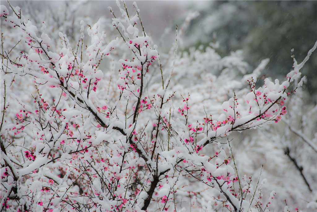 Màu hồng của hoa đào vừa chớm nở nổi bật trên màu trắng của tuyết.