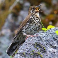 Phát hiện loài chim hoét mới nhờ tiếng hót